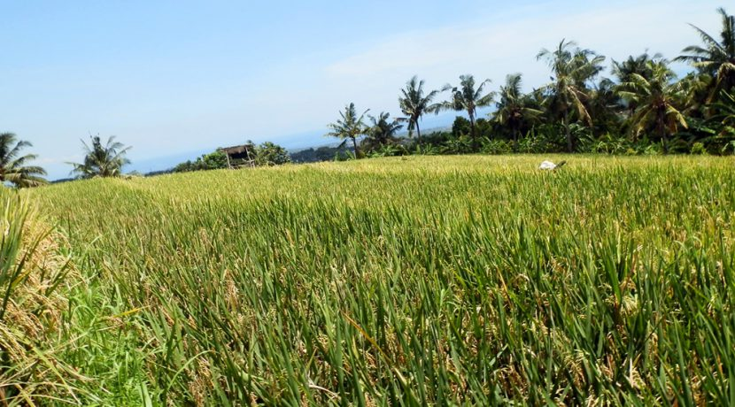 bali-land-for-sale-cheap-rice-crops