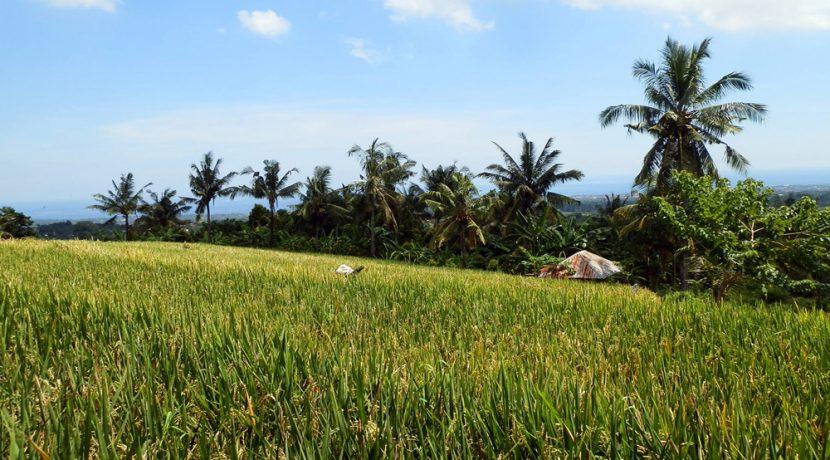 bali-land-for-sale-cheap-rice-terrace